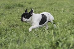 French Bulldogs, Carlini del Poderuzzo (BauToFocus) Tags: animal animali animals cane cani charley charlie dog dogs pet pets pugdog firenze pug bautofocus canevanesio dogoftheday