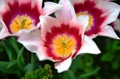 9826ex Happy Mother's Day (jjjj56cp) Tags: flowers blossoms blooms tulip tulips vibrant vivid colorful details closeup white magenta green yellow d7000 jennypansing 2017springflowershow krohnconservatory edenpark cincinnati oh ohio cincinnatiohio center stamen pistil