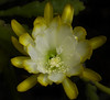(Bill Gracey 17 Million Views) Tags: epiphyllum yellow fleur flower flor exotic offcameraflash lastoliteezbox softbox directionallight yongnuorf603n yongnuo nature naturalbeauty macrolens depthoffield garden cactus cactusflowers epi