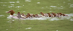 Most deserving mom of the year (mehdiapic) Tags: goosander canard harle bièvre caneton duckling chick nature wildlife duck