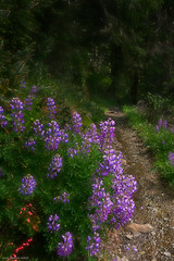 Forest Trail (kgsix) Tags: lincolncounty flowers usa transportation oregon plants capeperpetua trails paths yachats unitedstates us
