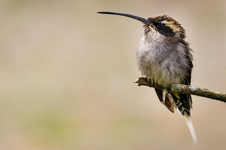 Scale-throated Hermit's