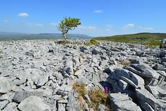 Limestone pavement, Ireland (carolinejohnston2) Tags: limestone hilltop burren rocks orchid tree wild wilderness views landscape cavan fermanagh ireland wildflower breathtakinglandscapes
