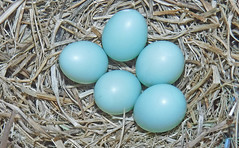 Simple and pure (hennessy.barb) Tags: eggs nest bluebirdeggs bluebirdnest easternbluebirdnest easternbluebirdeggs blue simple pure nature natural basic beginning newstart barbhennessy