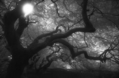 Märchenwald 2 (the future is analog) Tags: analog film bw infrared infrarot efke ir820 aph09 trees tree forest wald woods süntelbuche süntelbuchen dwarf beech fagus sylvatica suentelensis