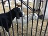IMG_5027 (lnewman333) Tags: losangeles ca usa dtla downtownlosangeles goat socal southerncalifornia weedcontrol bunkerhill angelsflight funicular railway fireprevention workinggoats