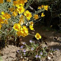 Psilostrophe tagetina, PAPERFLOWER. (openspacer) Tags: arizona asteraceae boraginaceae heliotrope paperflower phacelia psilostrophe