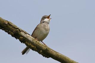 Whitethroat singing (Sylvia communis)