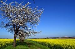On my way (Tobi_2008) Tags: frühling spring landschaft landscape baum tree feld field raps himmel sky ciel sachsen saxony deutschland germany allemagne germania platinumheartaward