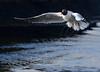 The black headed gull (AH Robberstad) Tags: chroicocephalusridibundus hettemåke theblackheadedgull langøy