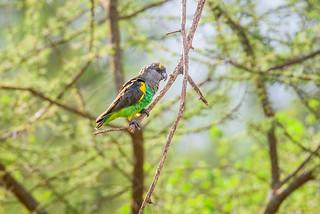 Meyer's Parrot (Poicephalus meyeri saturatus)