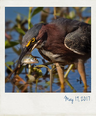 Green heron with a fish. (jeanne.marie.) Tags: yelloweyes lake spring fish fishing greenheron