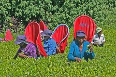 Tea pickers Filling the basket4