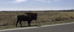 Tatonka (Mike Talplacido) Tags: caprockcanyon caprockcanyonstatepark texas texasstateparks texashistory buffalo tatonka texasbisonherd bison