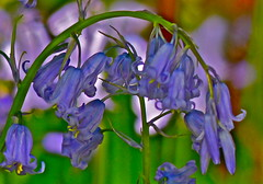 Bluebells. (jeansmachines24) Tags: bluebells clyne curved