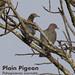 Plain Pigeon, Patagioenas inornata