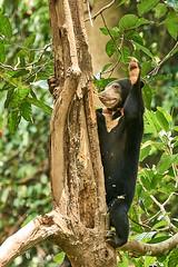 BOR_8711 (lucvanderbiest) Tags: sunbear maleisebeerofhoningbeer borneo maleisië sabah sepilok sunbearconservationcenter