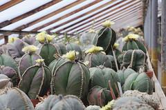 Astrophytum myriostigma (nitedojo) Tags: nitedojo haage openday