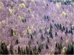 PRINTEMPS au HAUT JURA (nouredine) Tags: hautjura forêt forest printemps spring nouredine explore