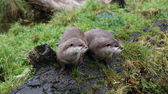 Otters at Blair Drummond Safari Park by piersmathias -
