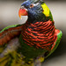 Last picture of a lorikeet