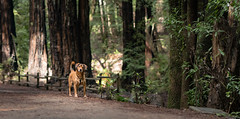 (mtch3l) Tags: dog dogs perro perros animals pets puppy sony a7 fe alpha sonya7 za e animalplanet park ca california sf sanfrancisco trail oakland redwood redwoods redwoodregional redwoodregionalpark forest hiking trails trees leaves grass animal ears batdog running 18 f18 bokeh batis1885 batis 1885 woof dof depthoffield outdoor outdoors a7rii a7rm2