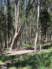 Andy Goldsworthy's Wood Line, The Presidio, San Francisco (1) (leiris202) Tags: presidio andygoldsworthy sanfrancisco