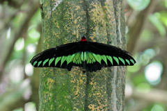 Raja Brooke (Infinite Legends) Tags: butterfly insect flying creature nature beaut beautiful canon eos 70d 70300 l lens malaysia park