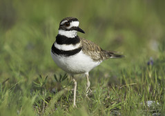 Killdeer in its habitat (Chantal Jacques Photography) Tags: killdeer bokeh wildandfree habitat