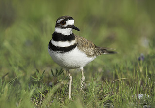 Killdeer in its habitat