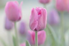 pastels in my garden (Lori Bote) Tags: tulips spring springflowers pastel pastelcolour softness depthoffield selectivefocus focalpoint pink petals garden gardenflowers springblooms