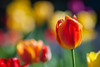 Tulip in spring (michaelraleigh) Tags: 200mm bokeh f28l serene closeup minneapolis canon minnehaha morning summer rainbow beautiful infocus red outdoors highquality canoneos5dmarkii minnesota flowers blurred