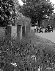Walking Baby (the mindful fox) Tags: strollers walkers monochrome irises steveston