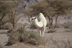 A Camel جمل (Mohammed Almuzaini) Tags: جمل طبيعة حيوانات بر شجر nature camel desert trees arabia animals