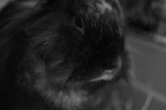 NOOB 1 (EL JOKER) Tags: rabbit lapin cony les allummers prod gimp nikon d7000 afs dx nikkor 35mm f18g noir et blanc black white 2017 linux potrait photo photographie photography png cc by nc nd creative commons animal geek noob pet eye oeil yeux macro poil poils fur soyeux silky
