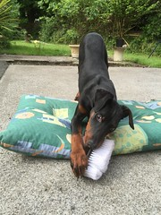 """New Puppy Doberman Pinscher Saxon """"Killing"""" His First Brush (firehouse.ie) Tags: young boy male puppy pup saxon dogs dog pinschers pinscher dobermann doberman dobermanns dobermans dobeys dobey dobies dobie dobes dobe"""