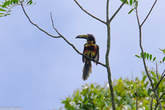 Collared Aracari (brian eagar - very busy - not much time to comment) Tags: costarica2017springapril costa rica costarica 2017 spring april toucan collaredaracari pteroglossustorquatus bird animal wild wildlife outside outdoor tree perch sky
