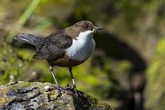 Dipper (Bill Richmond) Tags: dipper cinclusgularisaquaticus waterbird whitethroated cumbria nikond7100 nikon500f4