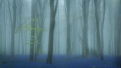 Misty Bluebells (Wizmatt) Tags: bluebell woodland dawn trees flowers spring forest misty fog foggy beech hyacinthoides nonscripta fagus sylvatica canon70d sigma1770 double exposure