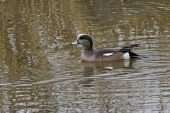 Swimming Around (A.Joseph Images) Tags: american wigeon duck bird animal nature canard outdoor wildlife waterfowl nikon nikkor200500mmedf56vr d7200 montreal quebec canada