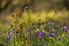 Wild in the wood (jillyspoon) Tags: bluebells flowers wigtownshire wood glow goldenlight wildflowers woodland woodlandflowers growing springflowers monreith scotland dumfriesandgalloway countryfile evening canon canon70d canoneos 70200mm canon70200