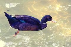 El patito Cuacua. (P.H.F.) Tags: pato en el parque de doña casilda bilbao cuacua reflejos estanque lago fotos