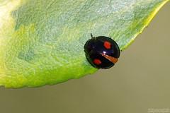 Teeny Weeny (Vie Lipowski) Tags: ladybug ladybird ladybeetle chilocorusstigma twicestabbedladybeetle beetle insect bug emeraldngoldeuonymus leaf plant spring wildlife nature macro