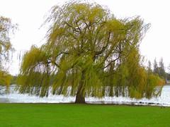 neue Blätter an der alten Trauerweide (Sophia-Fatima) Tags: trauerweide schwerinerschlosspark schwerin mecklenburgvorpommern deutschland frühling spring april