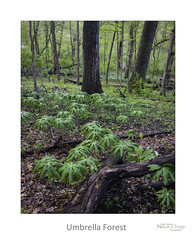 Umbrella Forest (baldwinm16) Tags: dupagecounty forestpreserve il illinois may midwest nature season spring woodland woods mayapples wildflowers natureofthingsphotography