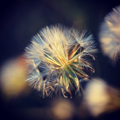 IMG_5129 (Ashly Edwards Huntington) Tags: dandelion seeds macro texture fragile wish the thedish stanford
