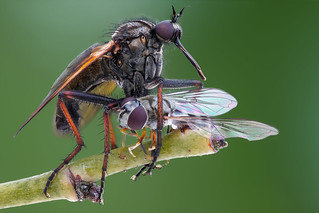 Empis - dance fly
