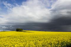 Barrow-Hill (Julian Barker) Tags: barrowhill sinfin barrowupontrent derby swarkestone oil seed rape yellow storm cloud opportunity exposure julian barker canon england uk