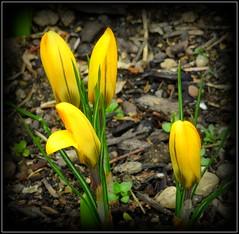 Natural Wonder (dimaruss34) Tags: newyork brooklyn dmitriyfomenko image flower crocus