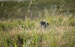 antennas down (Riex) Tags: wildoat grass herbes rabbitears oreilles ears rabbit jackrabbit hare lievre lapin bunny wabbit animal a900 amount minoltaamount maxxum af reflex 500mm f8 telephoto lens mirror catadioptric optiqueamiroir sal500f80 miroir